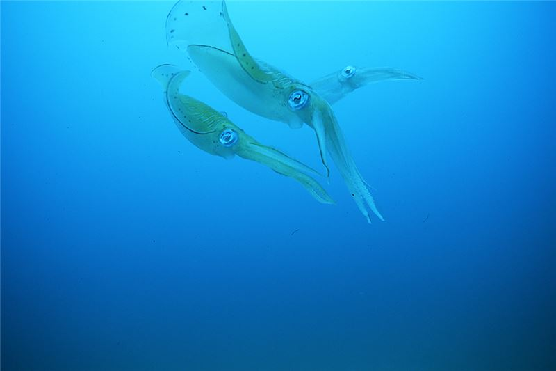 From April to September every year, a special species of oval squid, nicknamed Silky Soft, migrates to the northeast coast of Taiwan to spawn.
