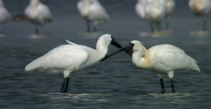 Bird Without Borders: Black-faced Spoonbills