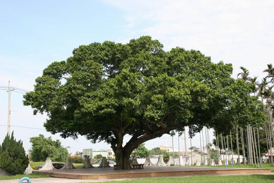 榕樹(莊溪 攝)