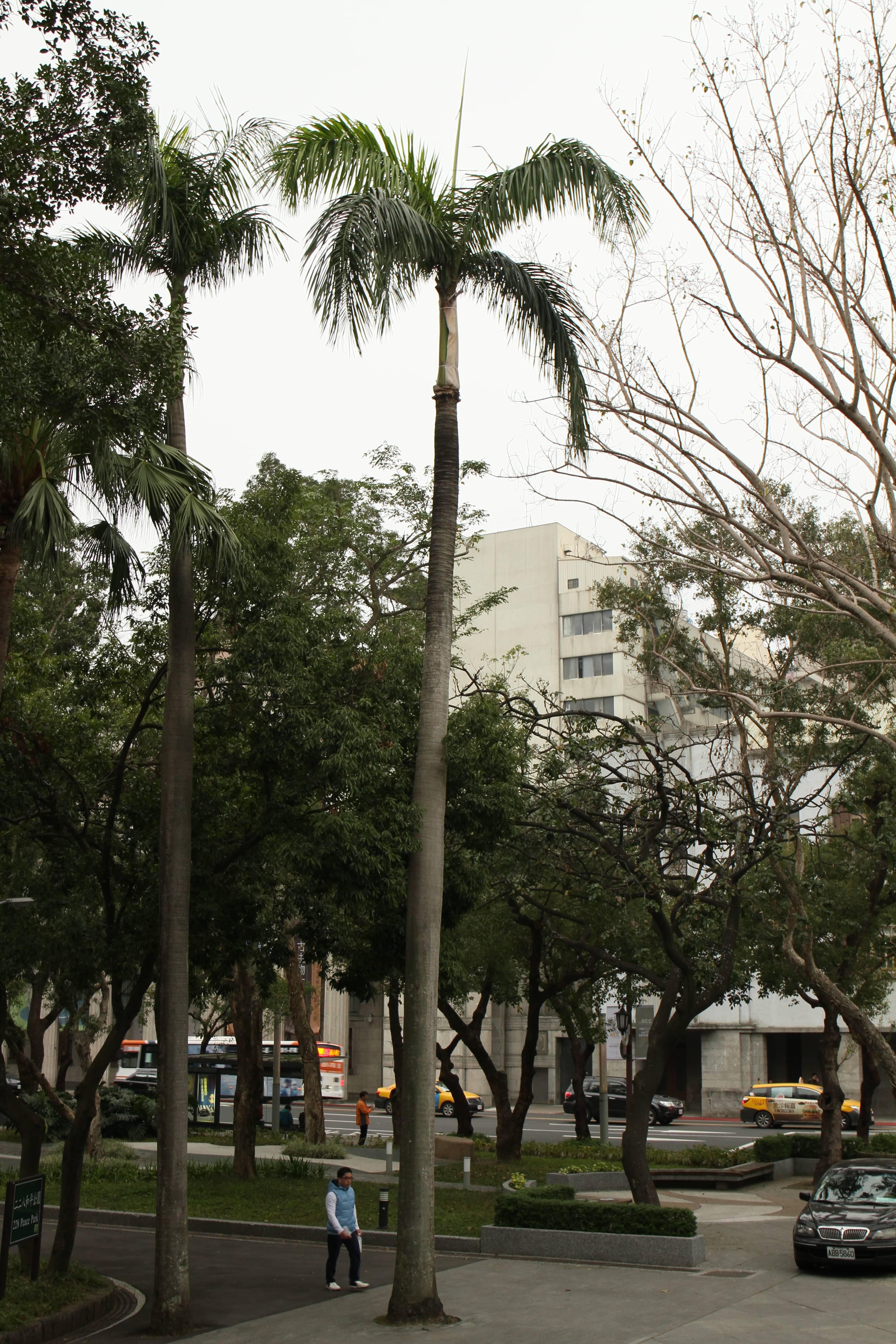 大王椰子(李以諾 攝)