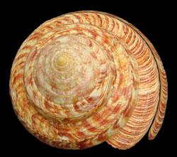 活化石-龍宮翁戎螺