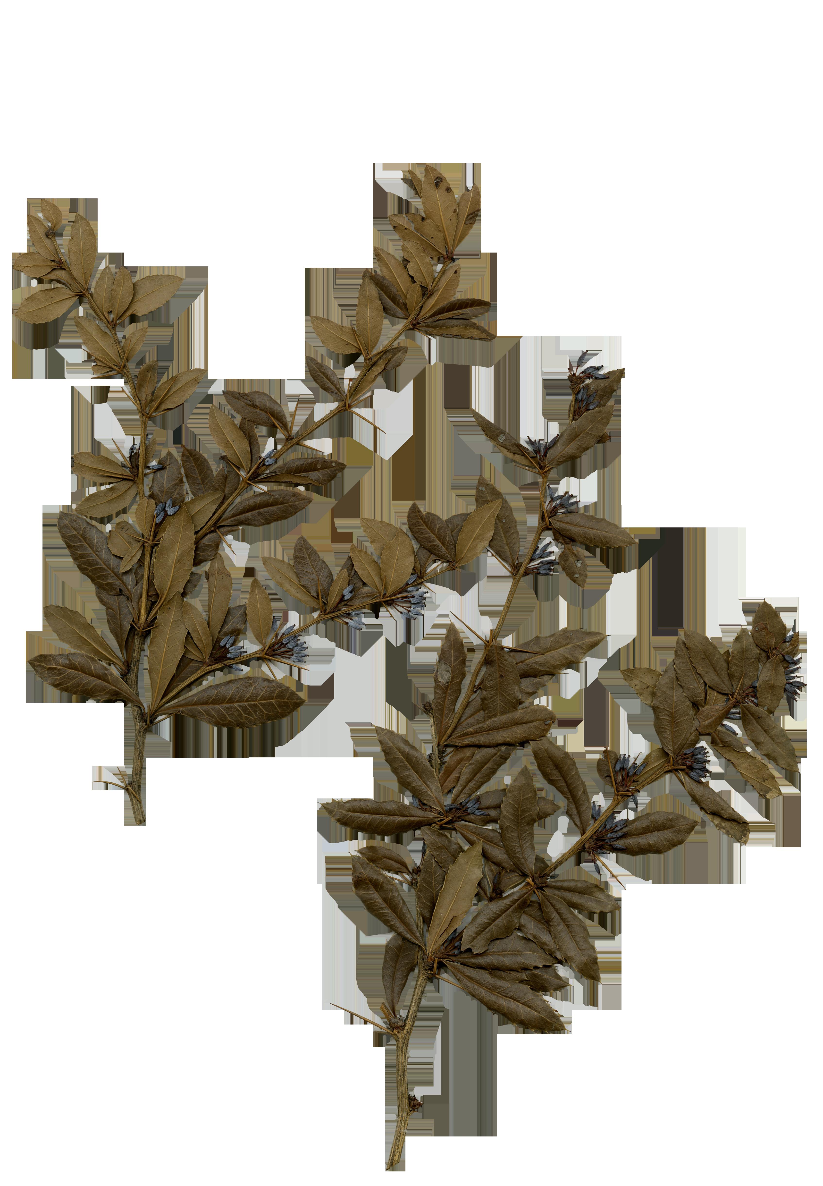 臺灣小檗(以川上為名的植物)