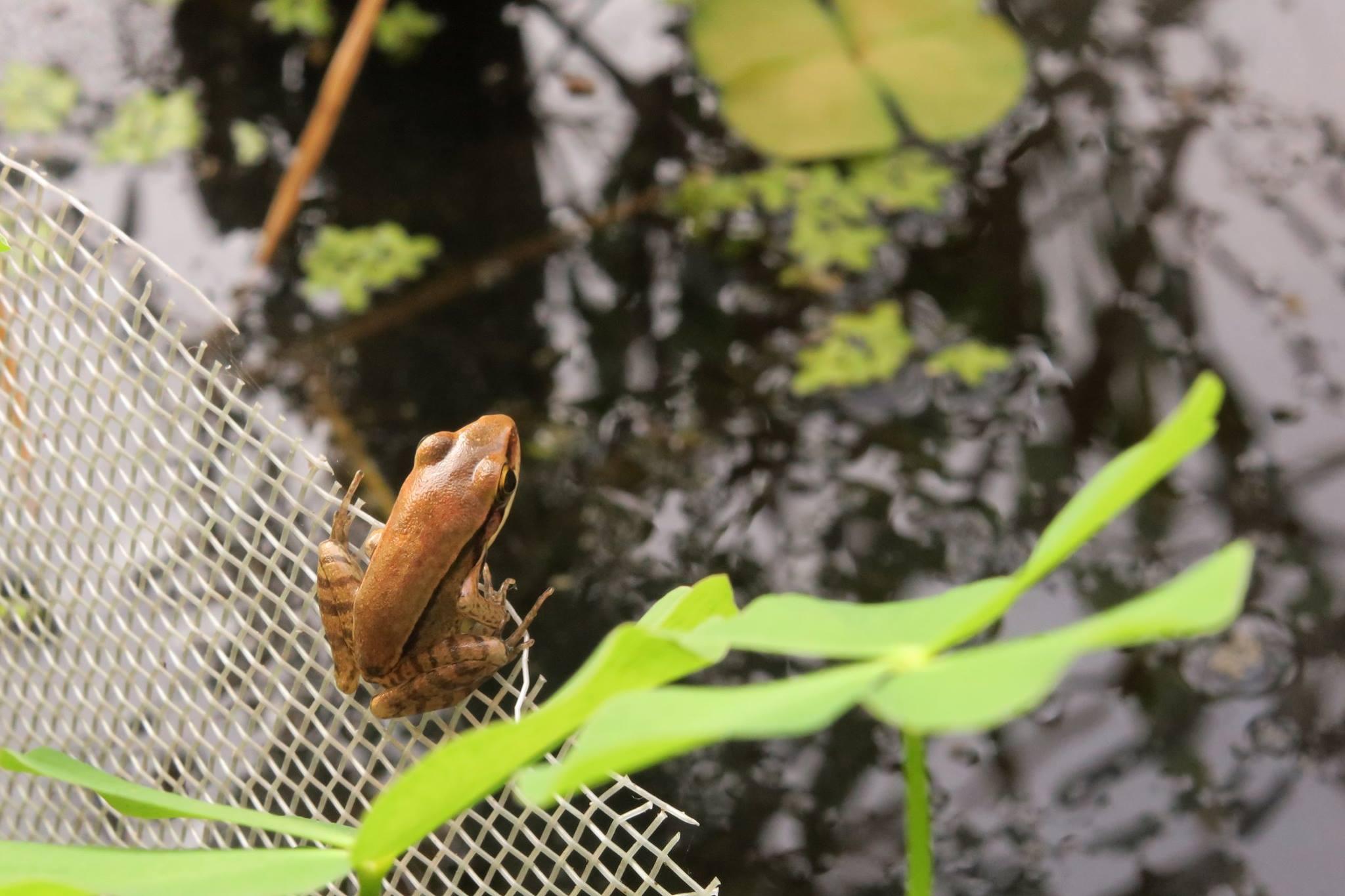 貢德氏赤蛙(烏龜大哥 攝)