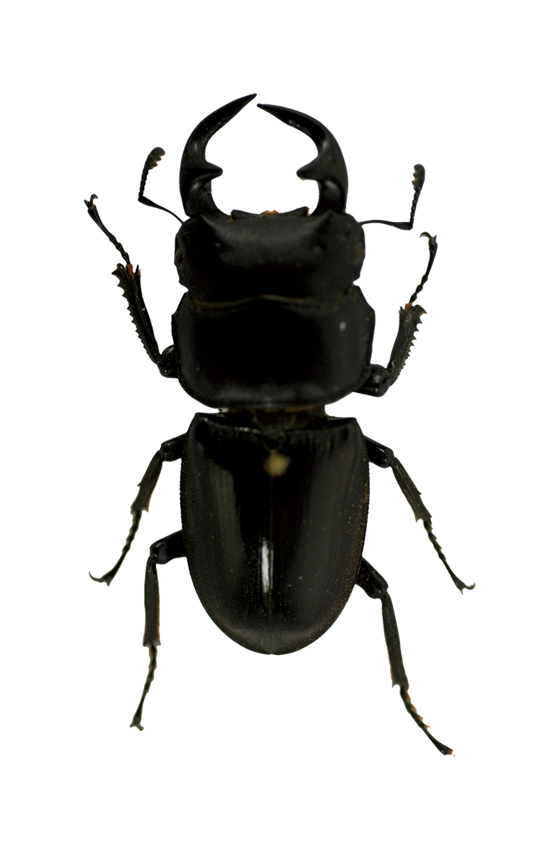 臺灣大鍬形蟲
