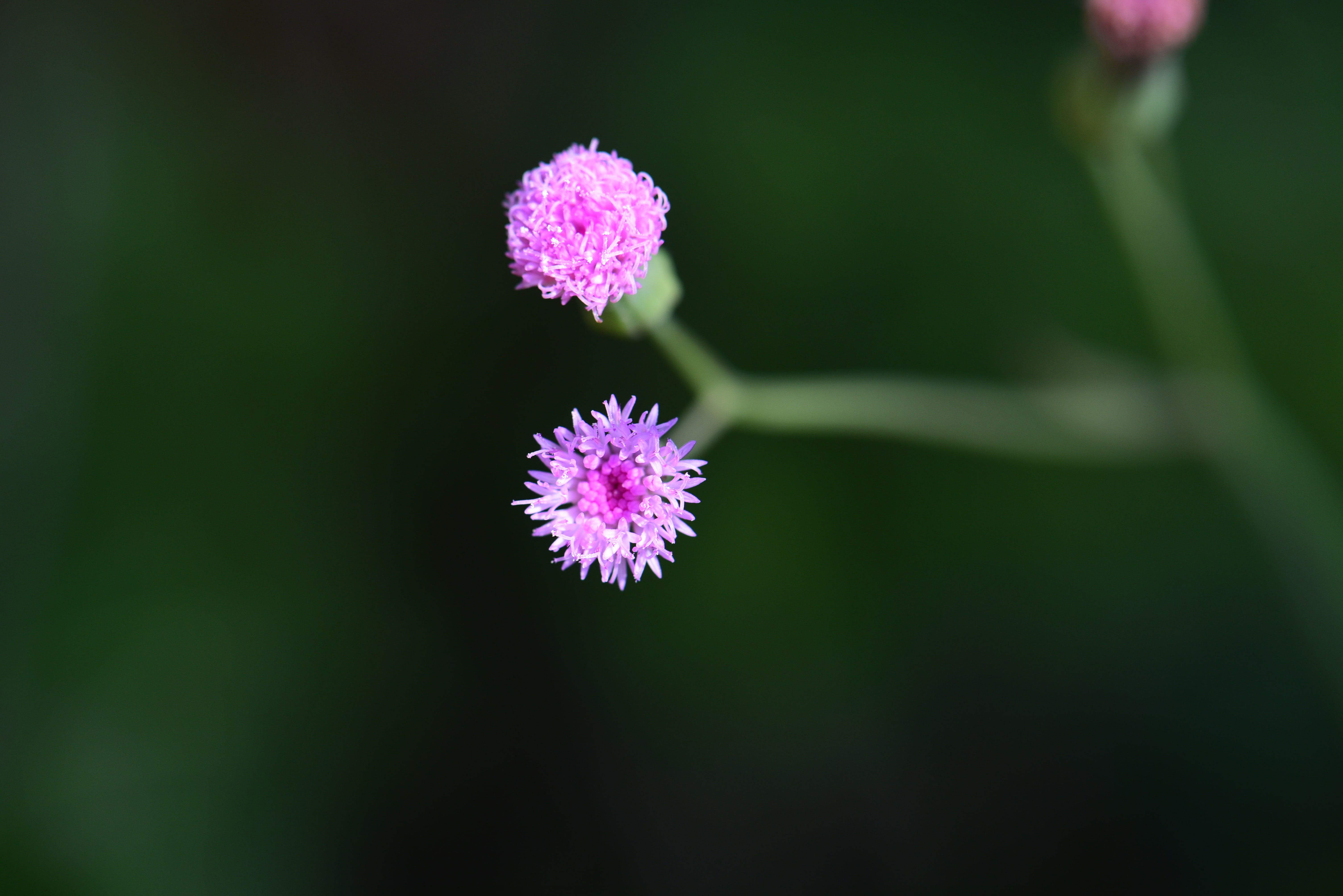 紫背草(廖政勛 攝)
