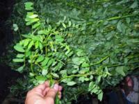 撈出木藍腐葉