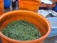 木藍枝葉過水清洗