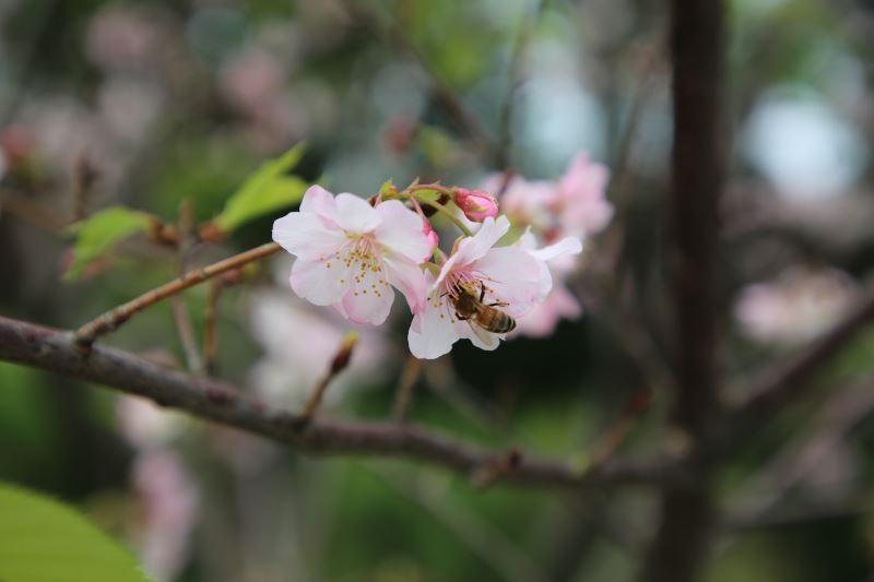 20190315 大漁櫻 蜜蜂採花去