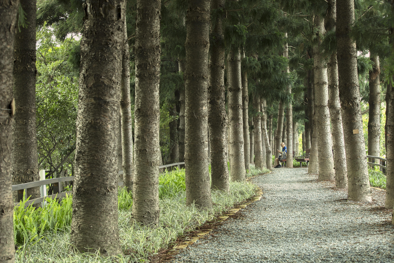 南洋杉步道(陳德芸攝)