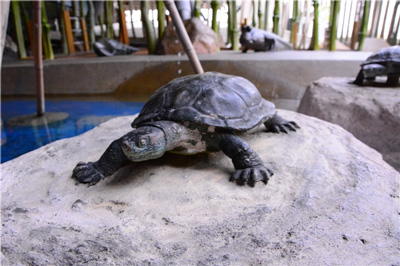 Chinese Stripe-necked Turtle