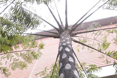 Common Tree Fern