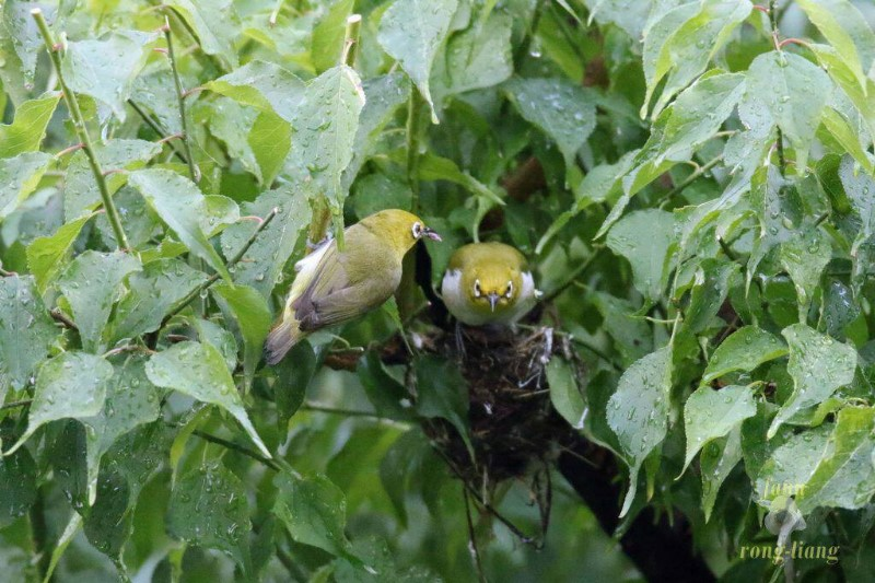 The Japanese White-Eye is busy raising the nestlings.