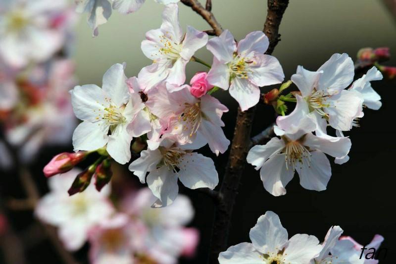 Somei Yoshino Cherry