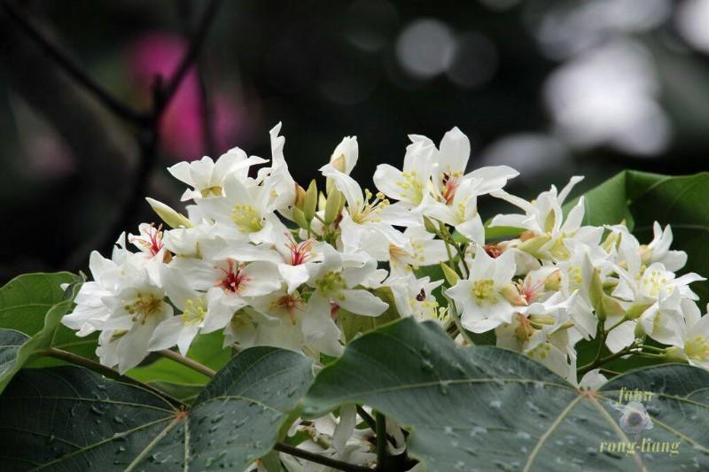 Guangdong Tung Tree