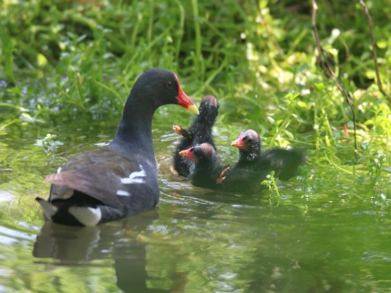 Common Moorhens Have Fun