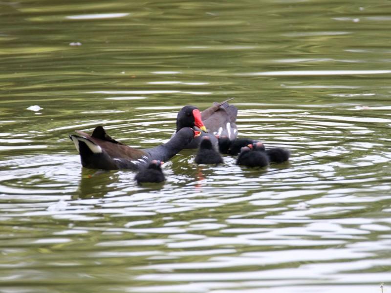Family of Common Moorhen Swim Happily!
