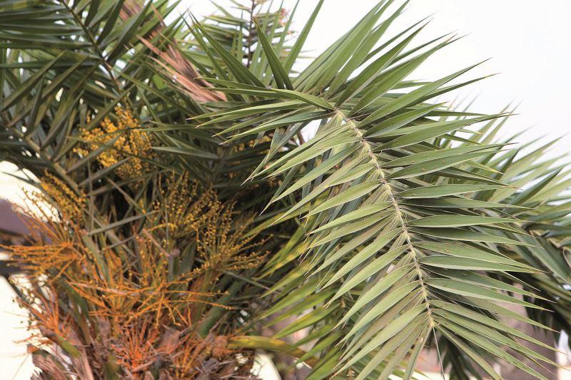 槺榔樹的尖刺葉子便是製作天地掃的主要材料。
