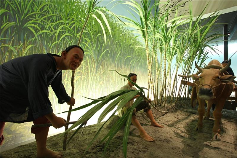 甘蔗是臺灣平原地區主要農作物之一,早在荷蘭人在臺灣時就已鼓勵甘蔗種植,蔗糖為臺灣重要的出口貿易品。圖為農人採收甘蔗,運用牛車載運的景象。