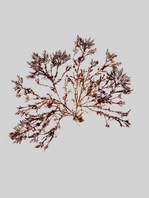 Gelidium amansii
