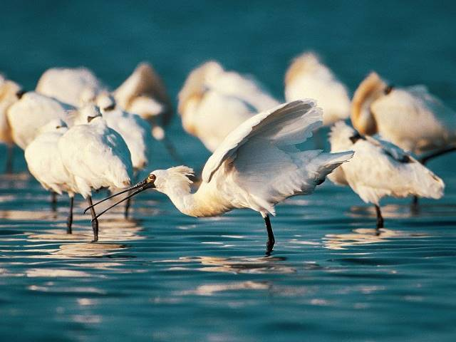 Every year in October, black-faced spoonbills fly south from Korean Peninsula and spend their winters in Tainan.