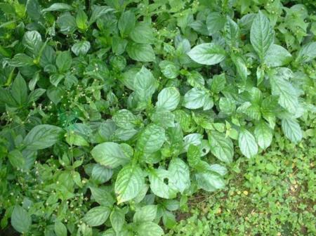 01山藍植物