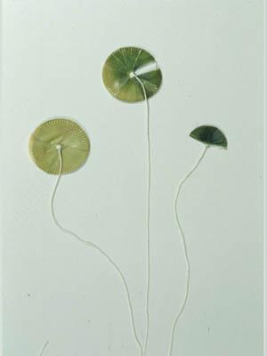 Alga Jenis Acetabularia major