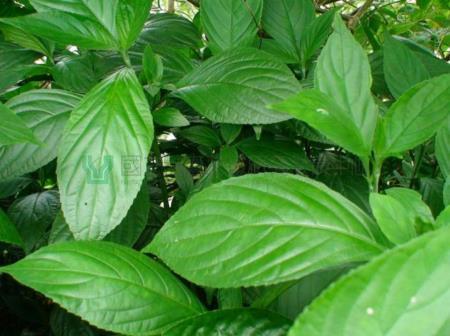 02山藍植物葉子近照