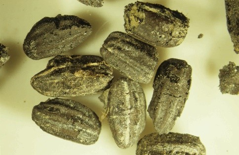 Fossilized rice grains.
