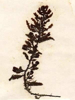 Sargassum polycystum
