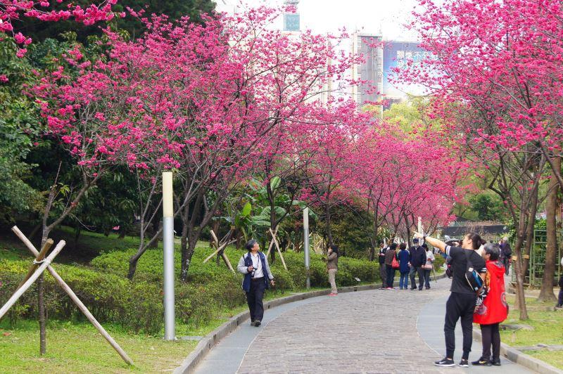 哇!好美的櫻花