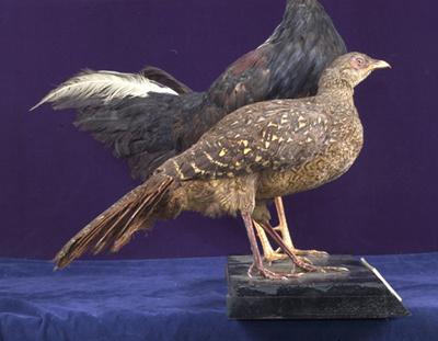 Pheasant Biru Swinhoe