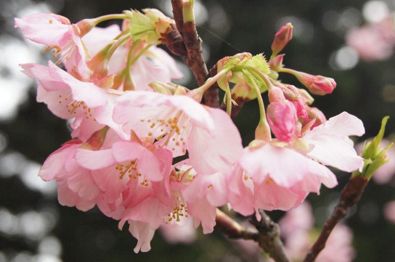 河津櫻花朵