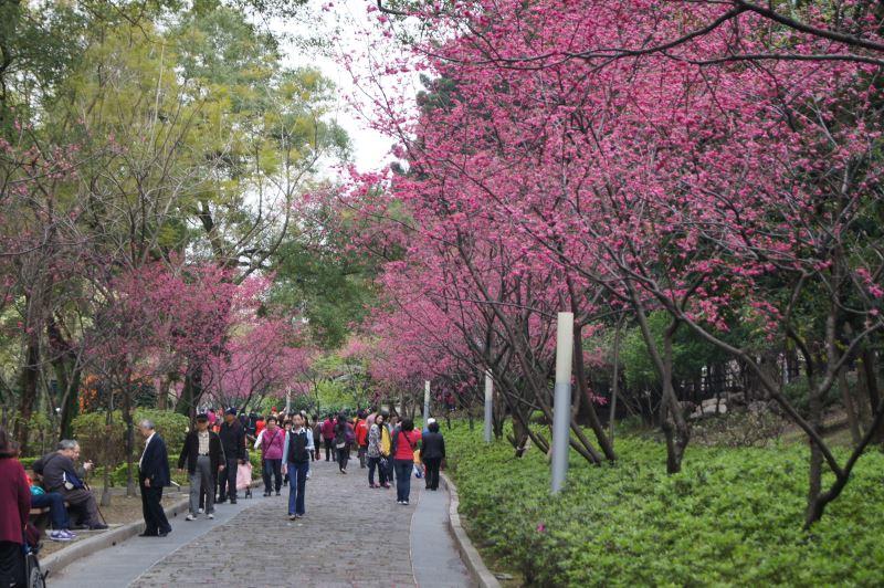 八重櫻步道