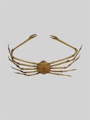 Kepiting spider Jepang