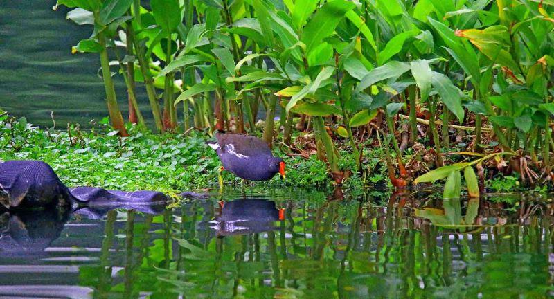 覓食中的紅冠水雞
