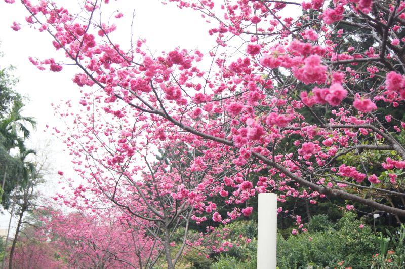 八重櫻盛開