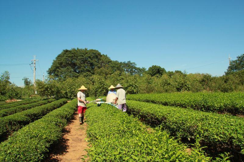 有機茶園的管理與採茶體驗