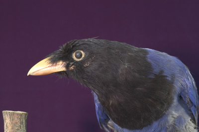 Magpie Biru Formosa