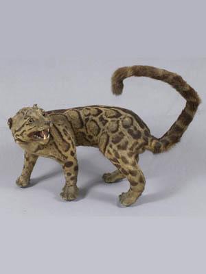 Leopard berhias Formosa