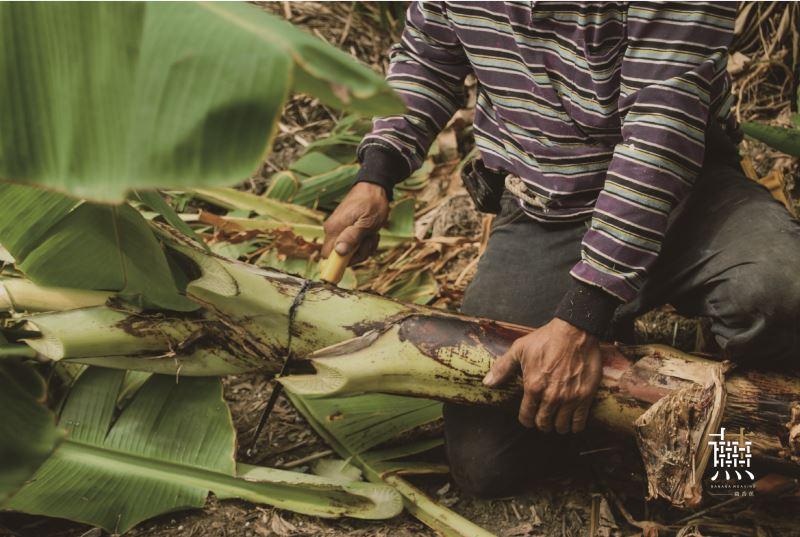 製作香蕉絲須在香蕉樹還沒開花結果前就得砍下假莖。