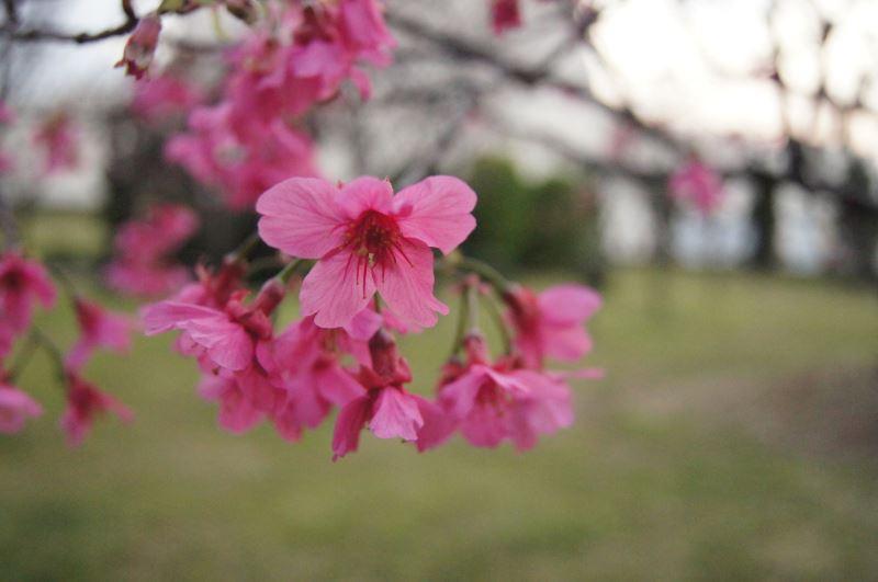 緋寒櫻花朵特寫