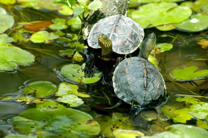 愛做日光浴的烏龜