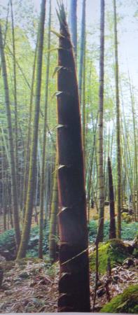 03孟宗竹筍