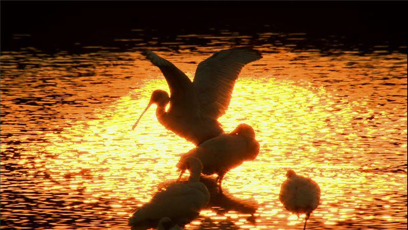 瀕臨絕種的黑面琵鷺,每年隨著四季遞嬗而大規模遷徙,南北往返,橫越了台灣、日本、南韓、北韓、直到中國大連的無人小島,航線長達一萬六千公里。其中,超過半數的黑面琵鷺,會在秋天時飛回台南的七股溼地,歇息過冬──可以說,台灣已成為牠們的家園和故鄉。世界各地喜愛或關心黑面琵鷺的賞鳥人或研究員,無一不知台南七股。此紀錄片即是沿著牠們的航線,一一造訪牠們的駐點,調查並呈現黑面琵鷺的生態系與生命史。