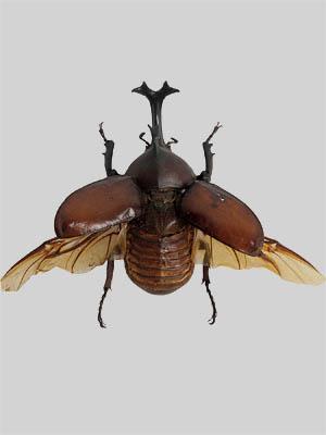 Kumbang Badak