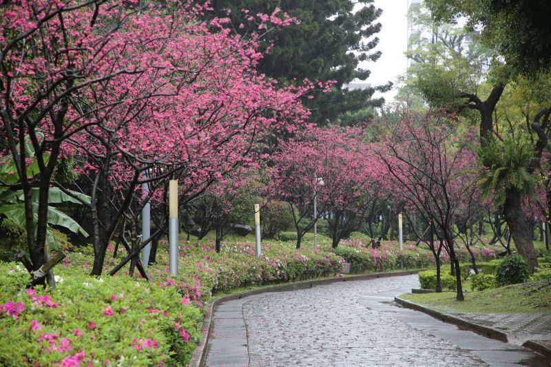 雨中的八重櫻