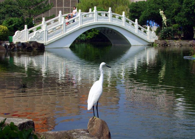 昂首佇立池岸的小白鷺