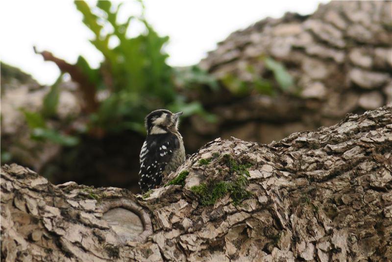 【小啄木鳥】