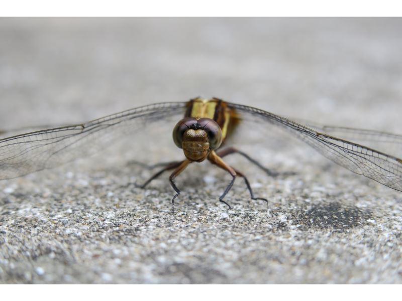 【金黃蜻蜓Orthetrum glaucum】