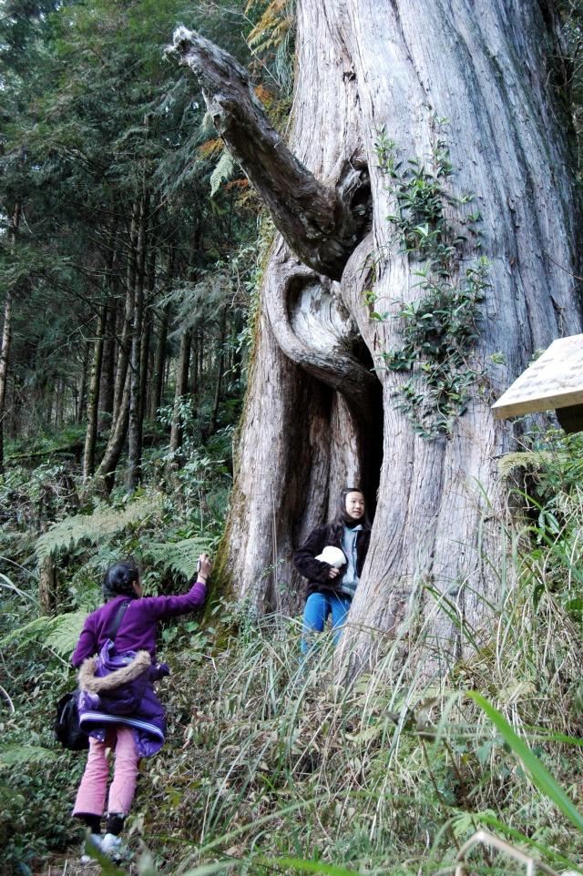 棲蘭山ヒノキ林